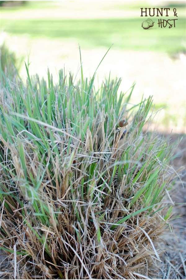 fresh grass shoots