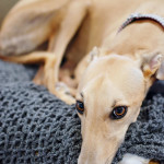 Six truths about adopting a greyhound. www.huntandhost.net